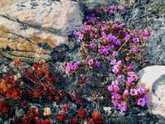 Purplesaxifrage
